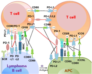 Lymphoma Cell