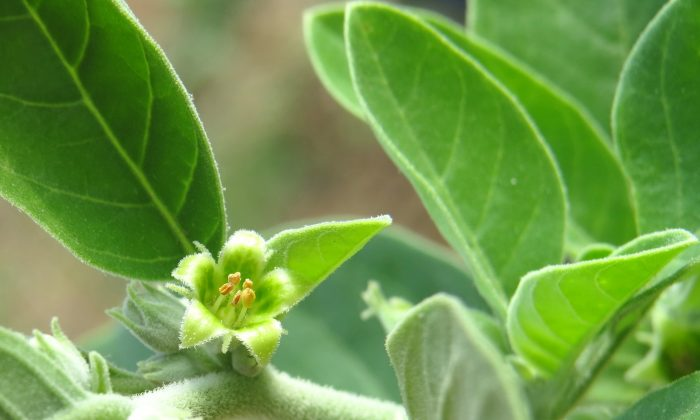 Ashwagandha for brain tumor